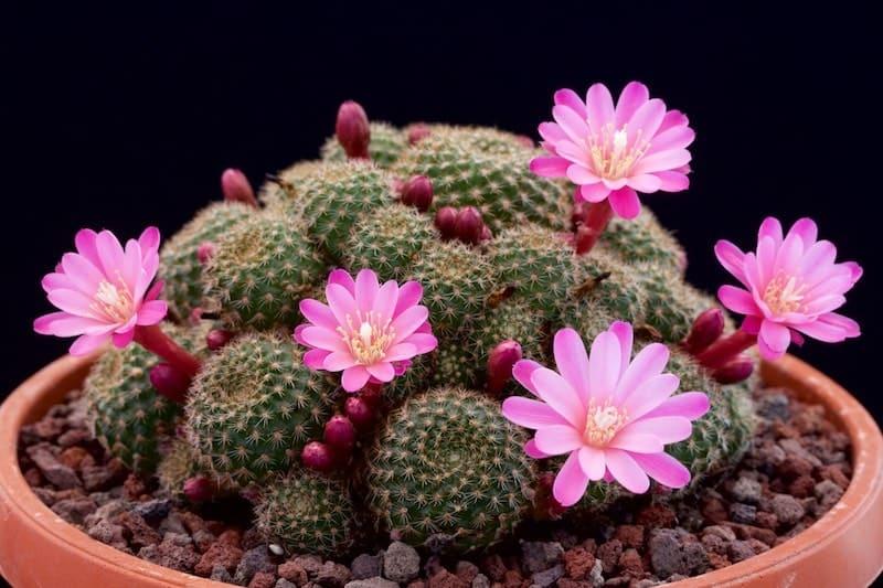 trồng cây xương rồng ra hoa