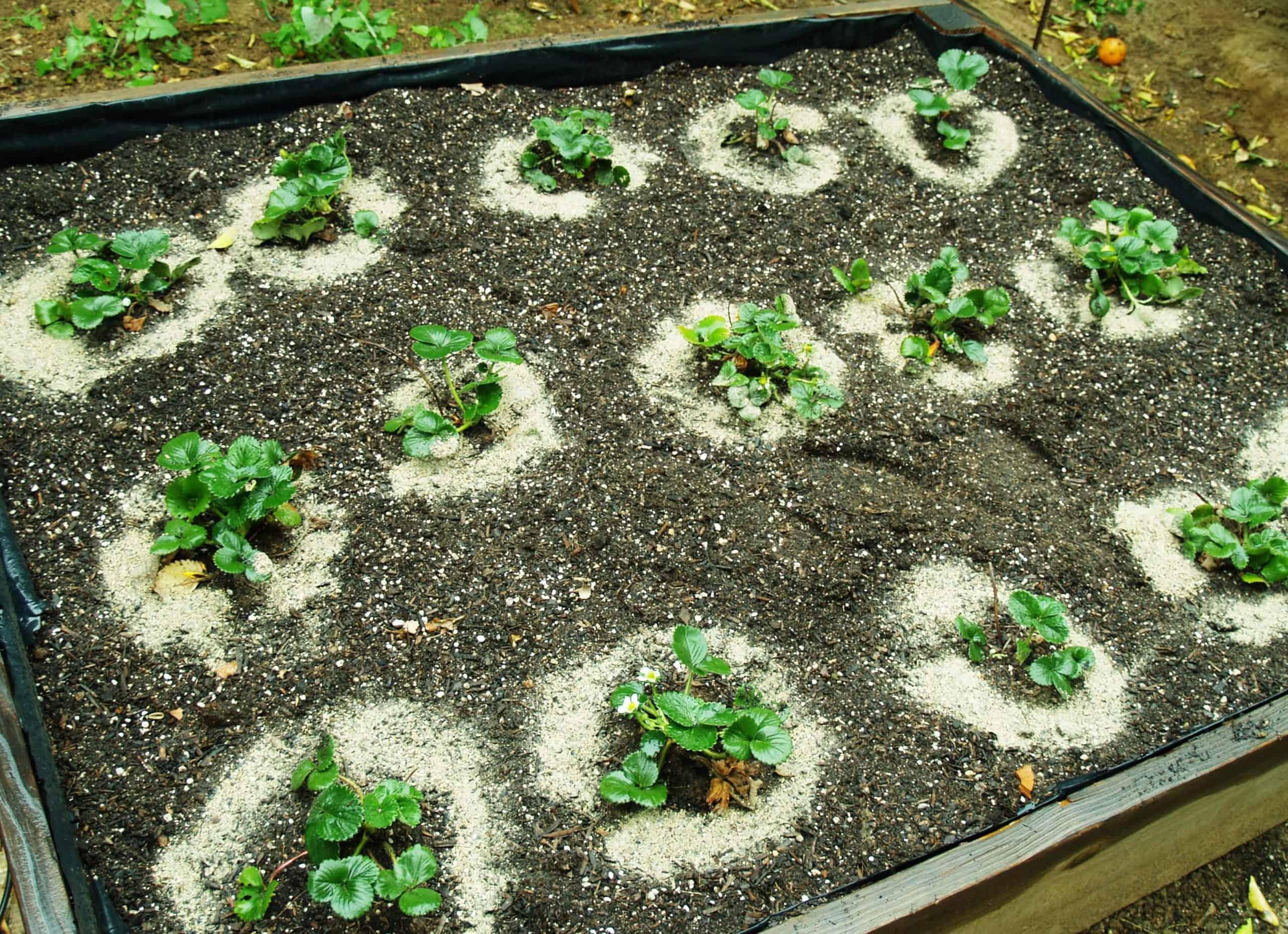 kỹ thuật trồng cây dâu tây bằng hạt