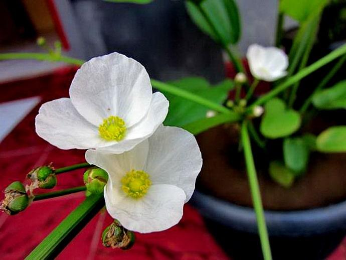 cách trồng cây bách thủy tiên