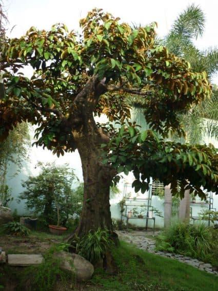 cây lấy bóng mát