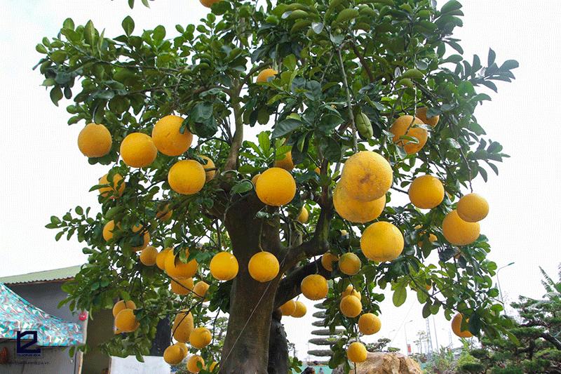 Cây ăn quả bóng mát nên trồng trước nhà