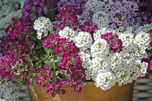 hoa có mùi thơm dễ trồng