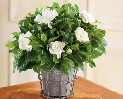 Cách chăm sóc cây hoa nhài trong chậu