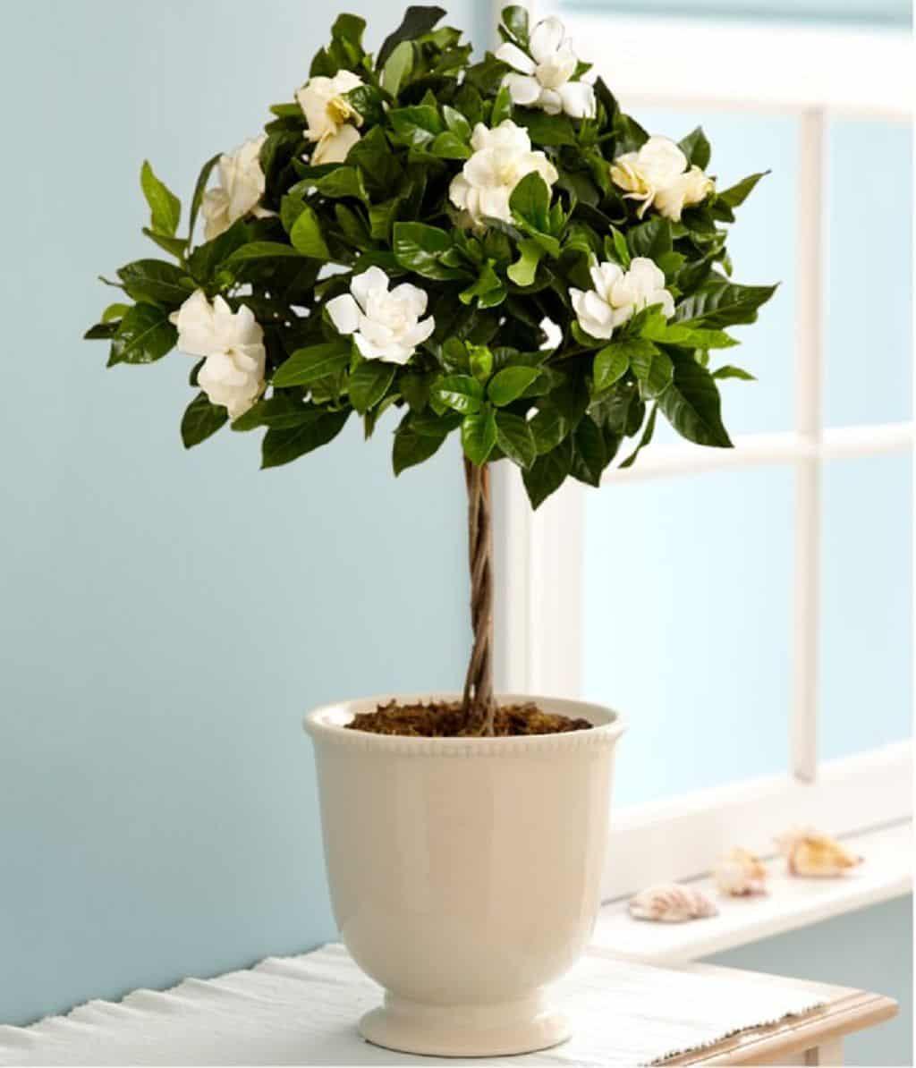 Cây hoa nhài trong chậu
