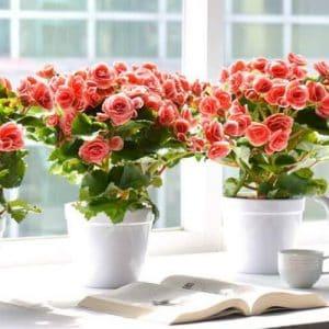 ý nghĩa của hoa hải đường