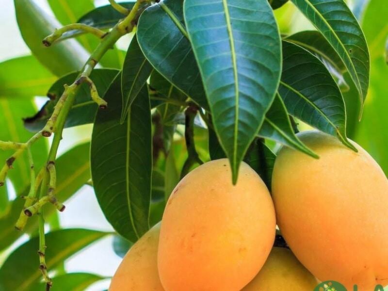 cây ăn quả trồng chậu nhanh thu hoạch
