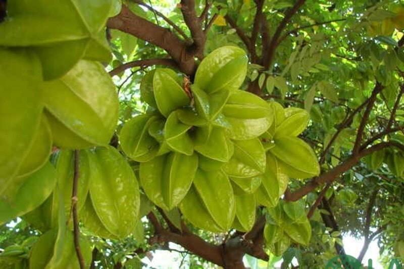 cây ăn quả trồng chậu trong nhà