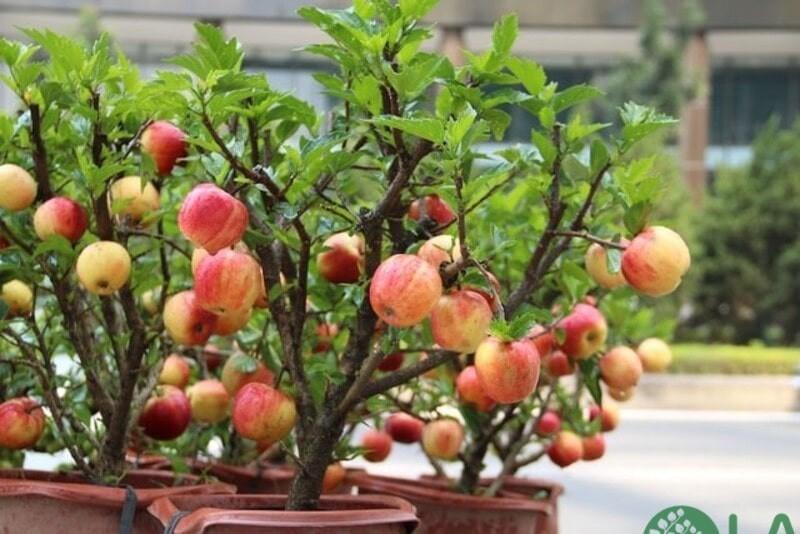 cây ăn quả trồng chậu cảnh