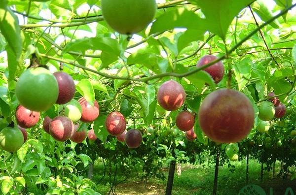 cây ăn trái trồng trên sân thượng