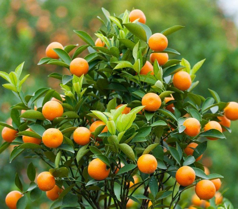 cây ăn trái trồng sân thượng