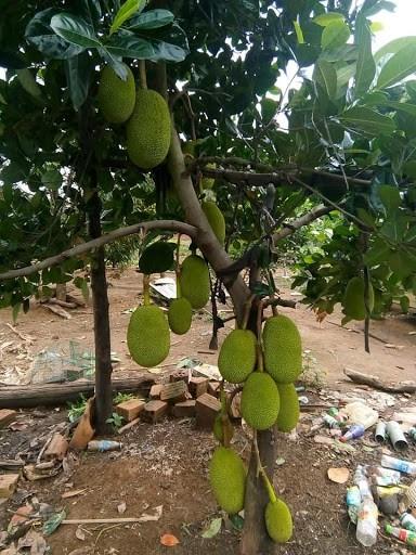 cây ăn quả trên sân thượng