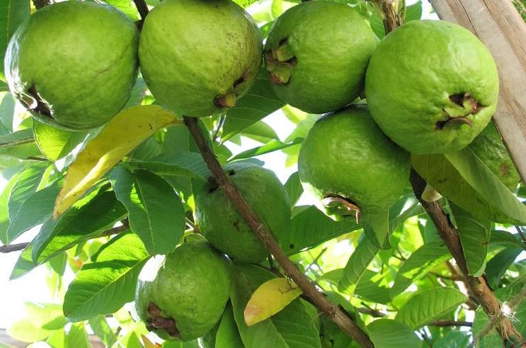 các loại cây ăn quả trồng sân thượng