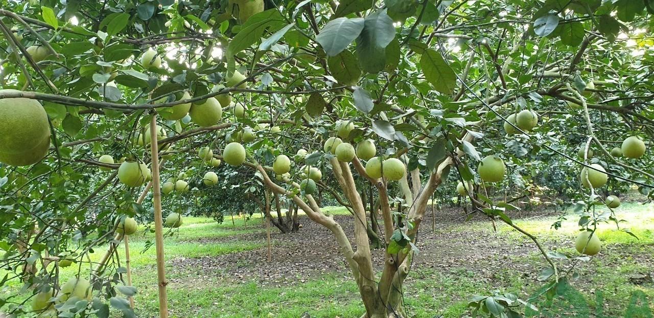 các cây ăn quả trồng trên sân thượng