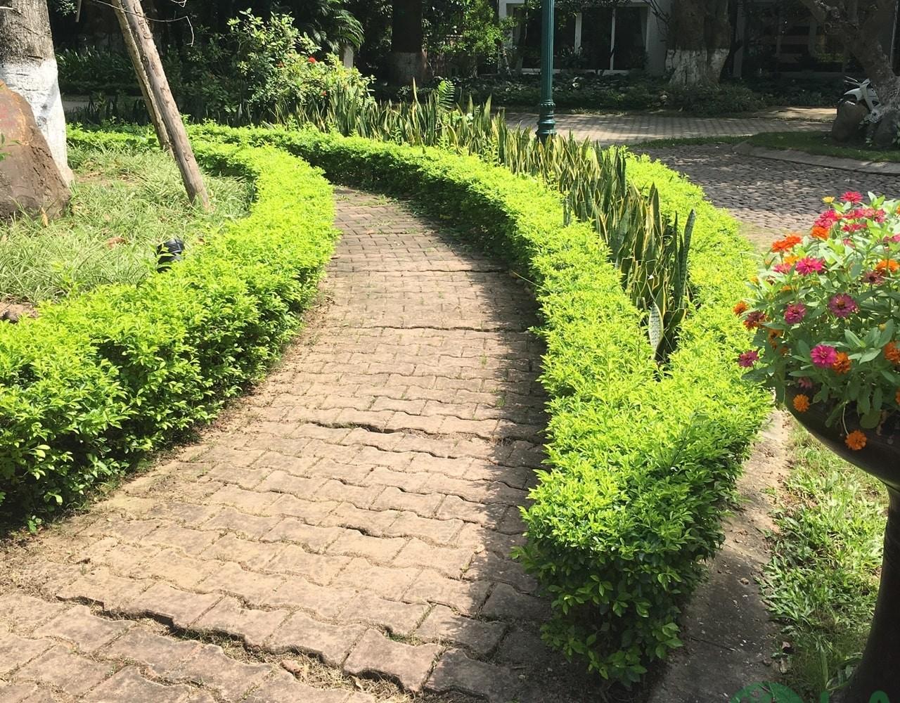 cây bụi trồng viền
