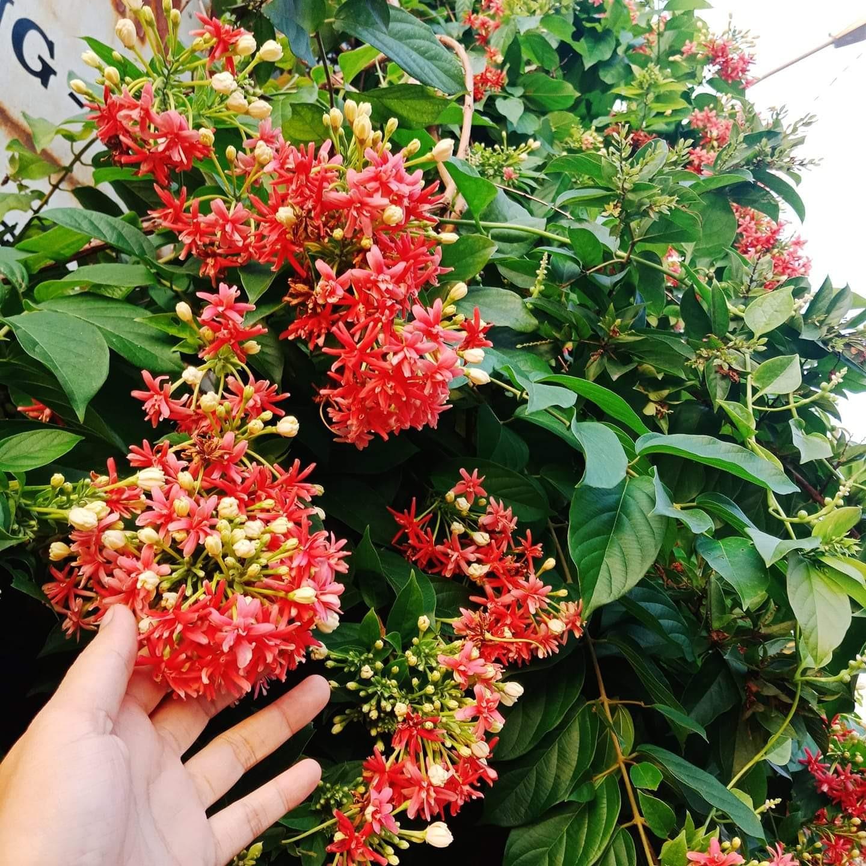 trồng cây leo ban công chung cư