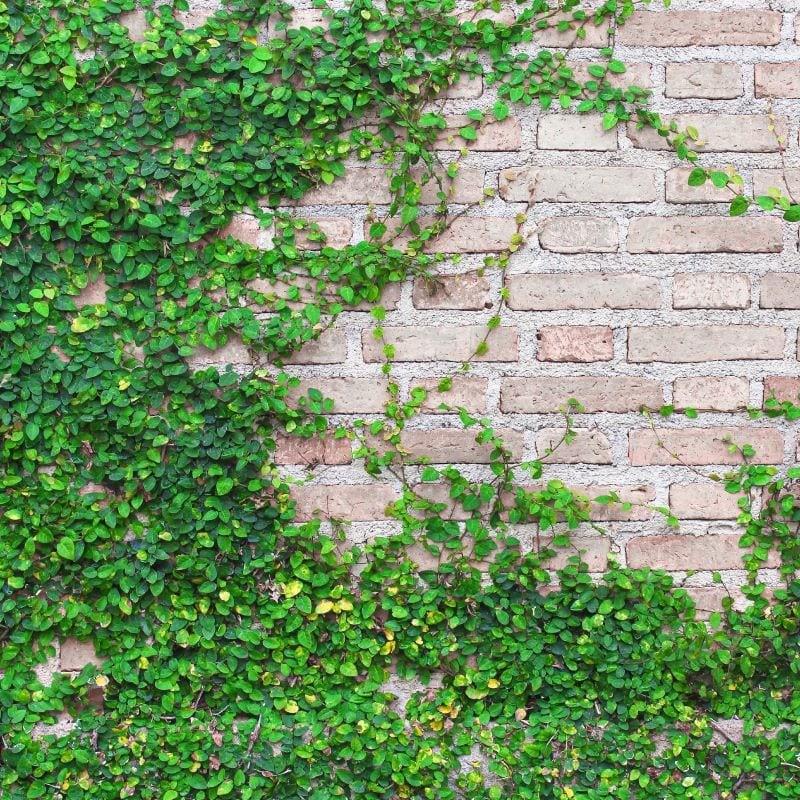cây leo ban công chung cư