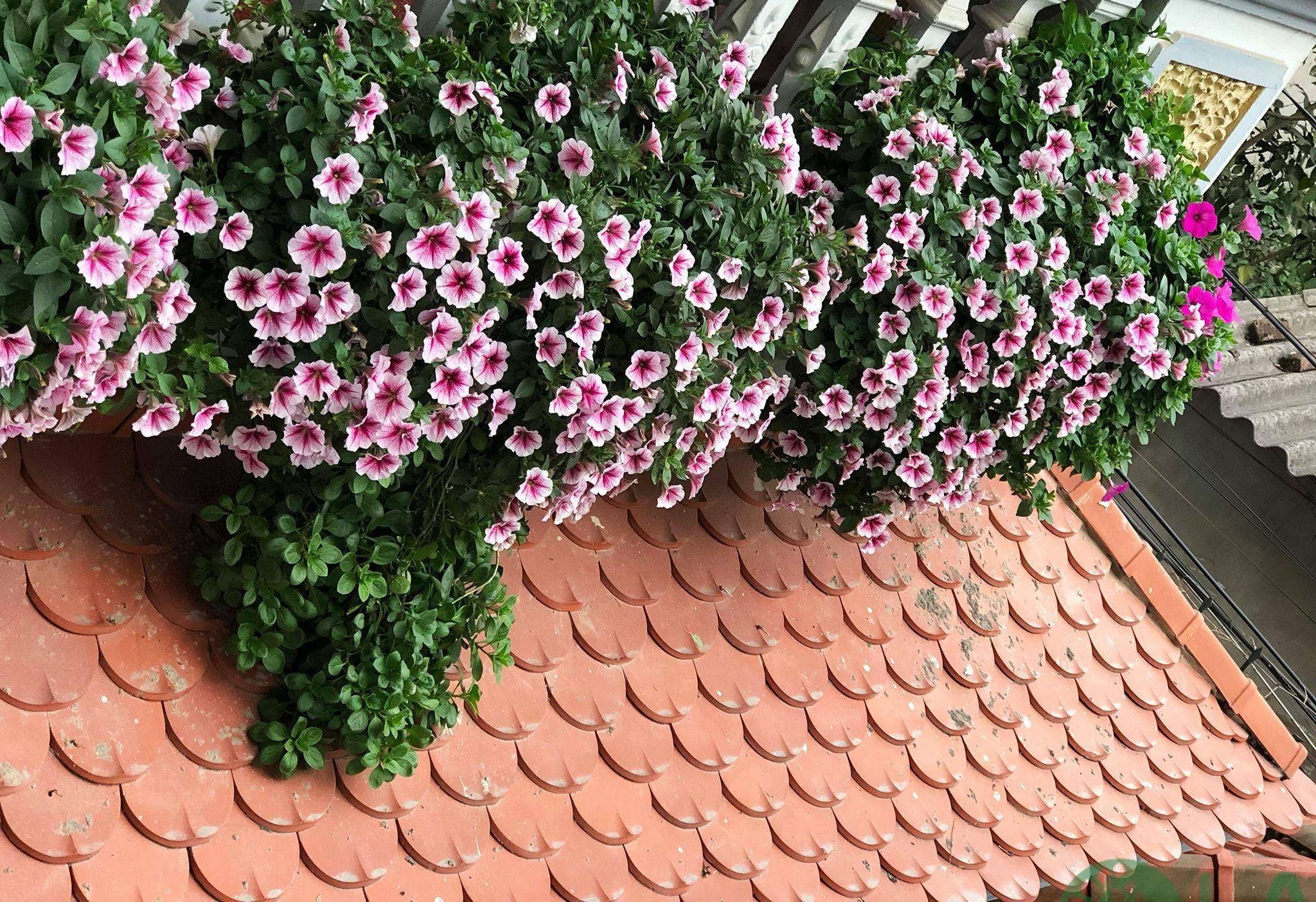 trồng cây ban công chung cư