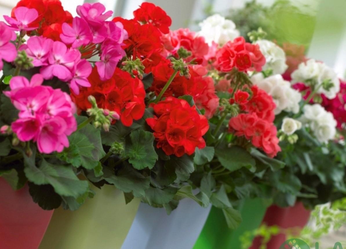 hoa giấy ban công